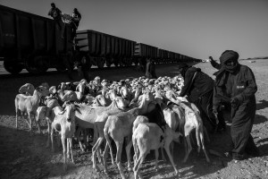 Nouadhibouh, Mauritania - 20 January, 2016: The train is often used for the transport of animals such as goats. Passengers put the goats in train. The final destination is Zouarete.  The Iron Train is one of the longest train in the world, the train is about 2.5 km. A journey that goes from Nouadhibouh to Zouerate, totaling 652 km in the middle of the Sahara desert that lasts about 20 hours. An epic journey where residents, poor and penniless use dangerous train to visit relatives in the homeland or carrying goods such as live animals. High temperatures during the day and very low temperatures during the night makes the journey is not easy. But the worst is the dust that is produced by wagons full of iron minerals that come from a mine 30km Zouarate to be unloaded cargo boats in the port of Nouadhibouh. CREDIT: Daniel Rodrigues