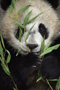 A mother and her cub play inside an enclosure at the Wolong China Conservation & Research Center for the Giant Panda, (CCRCGP) April 18, 2015. The  cub is being trained to go back into the wild and panda keepers must wear panda costumes covered in panda urine so that they do not become familiar with humans before they are sent back into the wild.   (Photo by Ami Vitale)    (Photo by Ami Vitale)