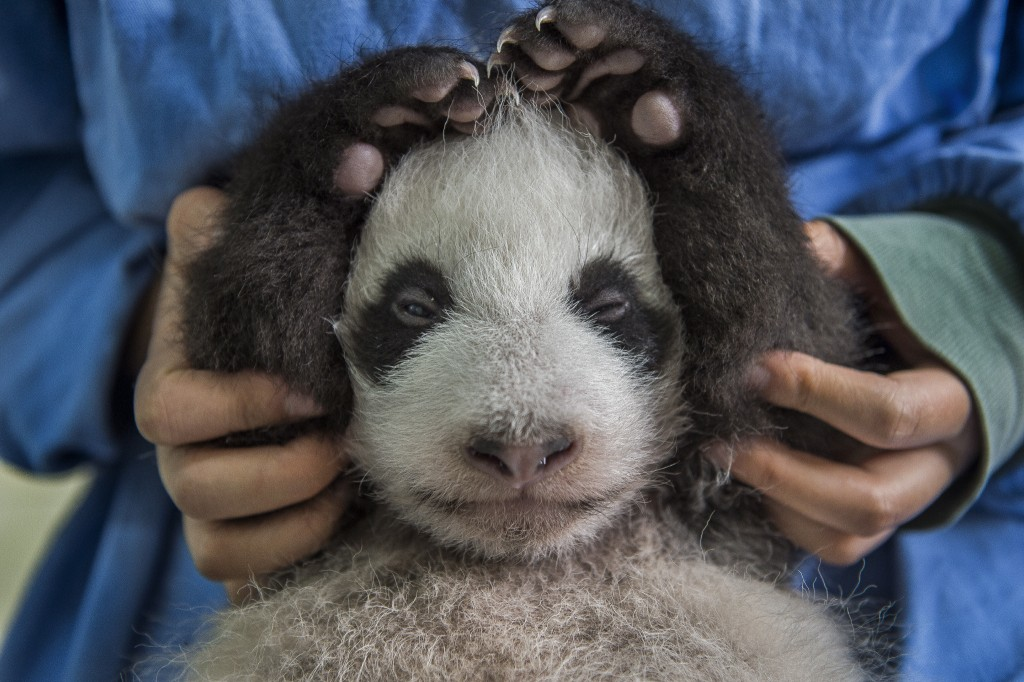 Tourists watch as Li Feng cares for two month old giant panda cubs at the Bifengxia Giant Panda Breeding and Research Center in Sichuan Province August 29, 2015. Nearly 50 percent of giant pandas births are to twins, but the mothers can care for only one cub at a time so keepers in China have developed a careful process for swapping each baby so they are fed both by their mother and by hand. Baby pandas wean from their mothers between 8-9 months and a year old and generally stay with their mothers for 2 years. (Photo by Ami Vitale)
